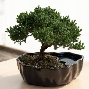 gift ideas for introverts bonsai tree